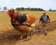 chicken plough